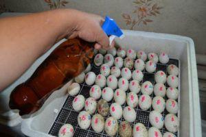 Обработка яиц перед помещением на инкубацию