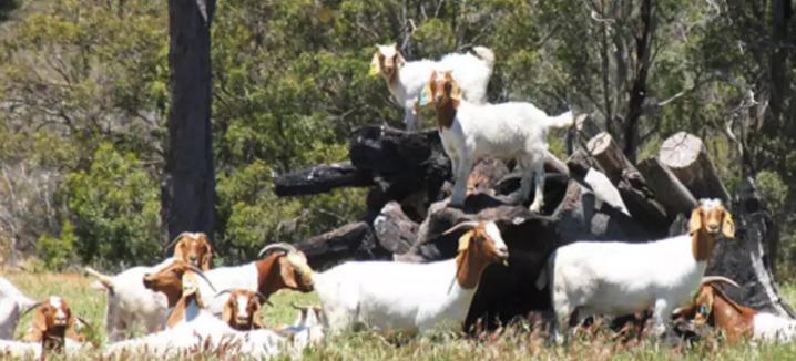 Бурские козы предпочитают поедать листья с кустов и деревьев