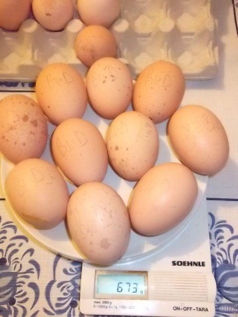 Яйценоскость одной курицы Билефельдер составляет от 200 яиц в год