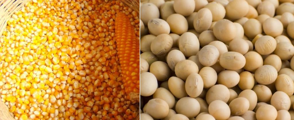 Кукуруза и соя обязательно должны использоваться для составления корма