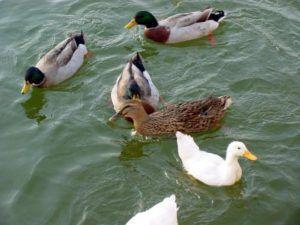 Здоровье башкирских уток