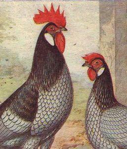 Андалузская курица - вдохновение художников
