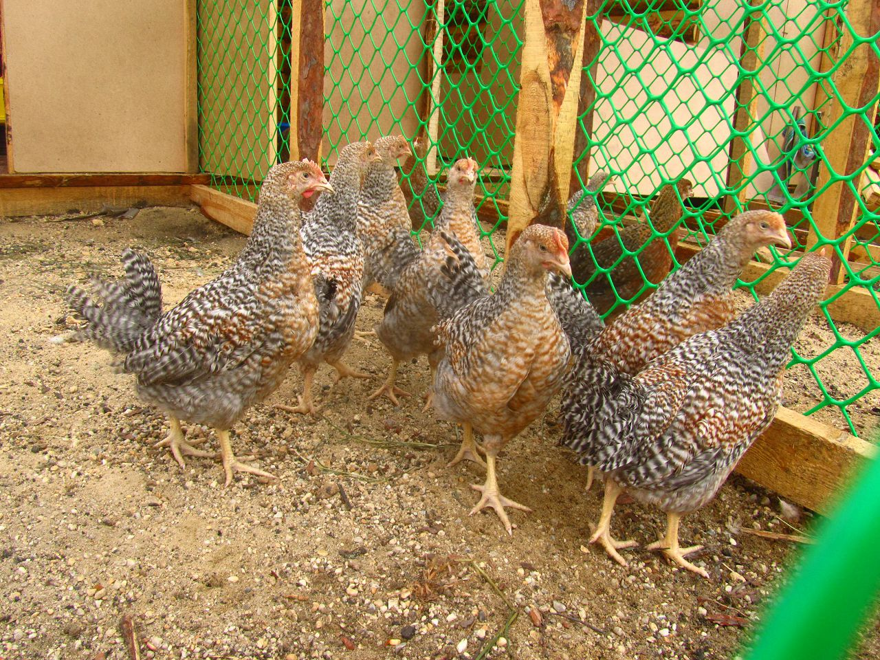 Курицы Билефельдер в вольере