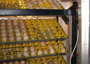 Предварительное размещение яиц в инкубатор
