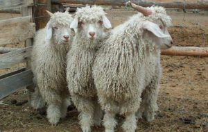 Ангорские козы в загоне