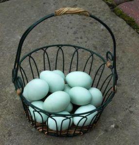 Яйца кур породы Араукана