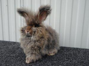Выбор ангорского кролика