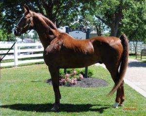 Лошадь породы Джипси
