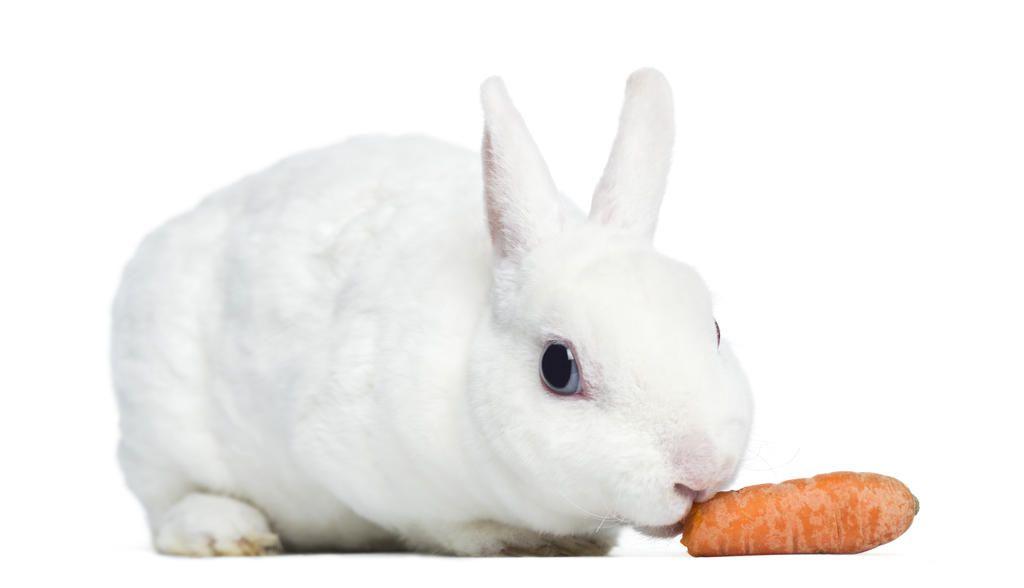 «Дитрим» является эффективным средством против кокцидиоза у кроликов