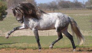 Черты характера Андалузской лошади