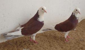 Бакинские голуби - Чили