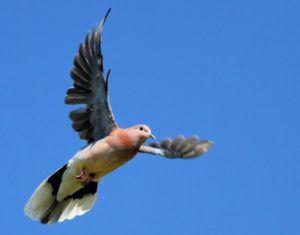 Бакинский голубь в полете