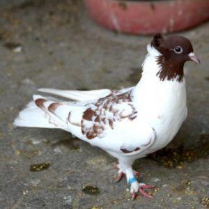 Внешний вид Бакинского голубя