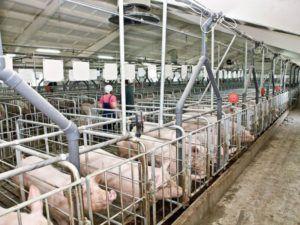 Введение в статью о бизнес плане свинофермы