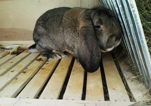 Первоочередной причиной кокцидиоза является ненадлежащий уход за кролями