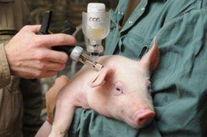 Вакцинация поголовья свиней