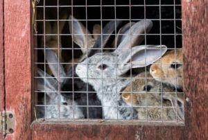 Распространенная ошибка: содержание кролей в набитых клетках