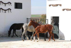 Профильный завод по выращиванию андалузской лошади