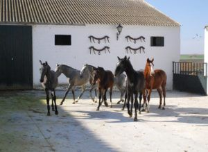 Стадо андалузских жеребят