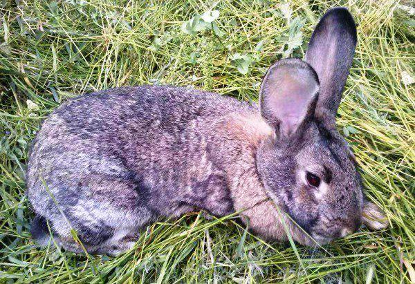 "Кокцидиоз у кроликов лечится препаратом ""Дитрим"""