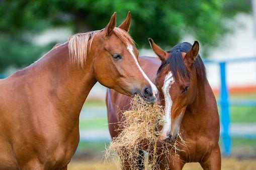 Арабские лошади едят сено
