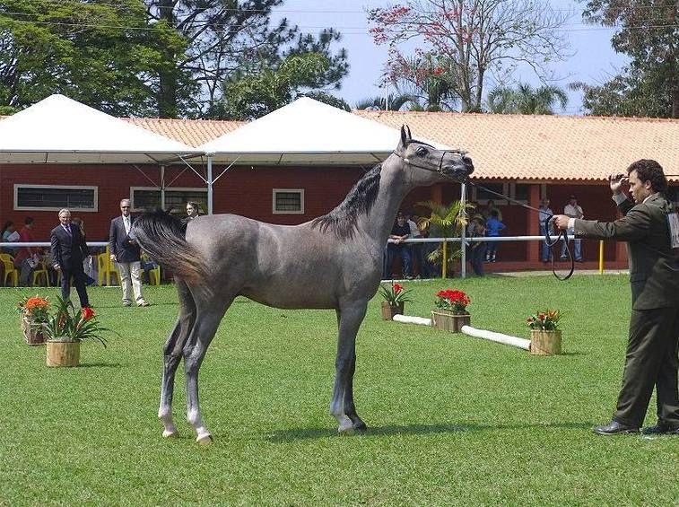 Арабские лошади проявляют высокий интеллект
