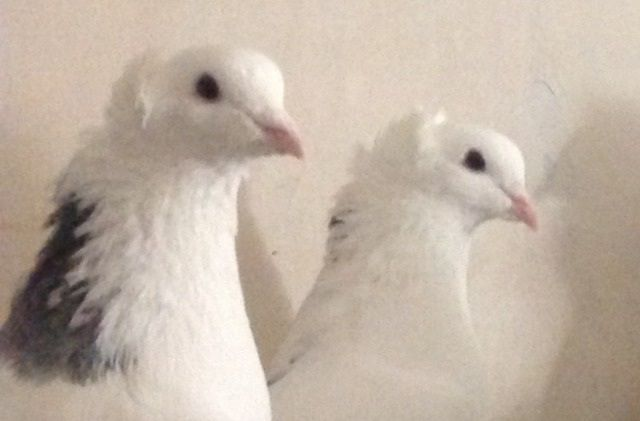 Армянские голуби бойные чубатые