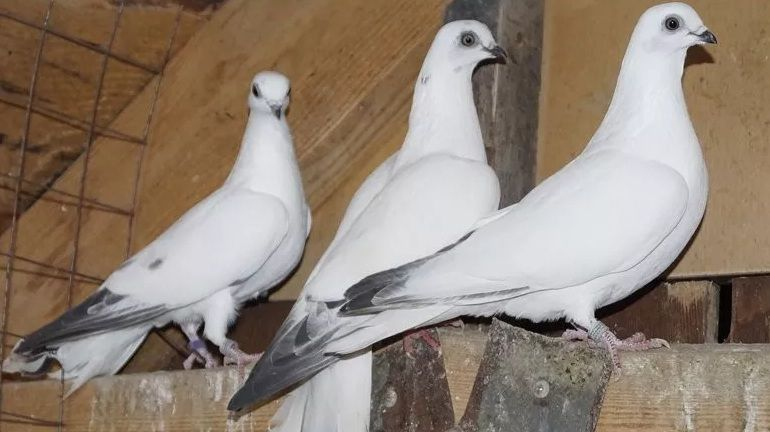 Будапештские аистовые голуби, предки венгерских