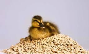 Птенцов можно подкармливать отрубями