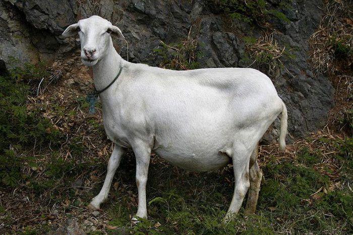 Как определить беременность козы в домашних условиях