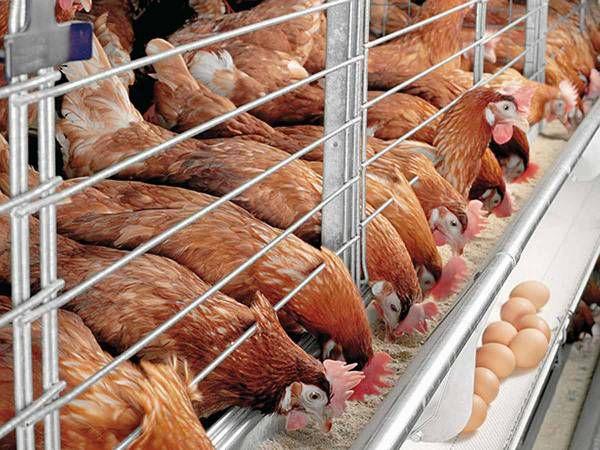 Болезнь Ньюкасла опасна для птиц