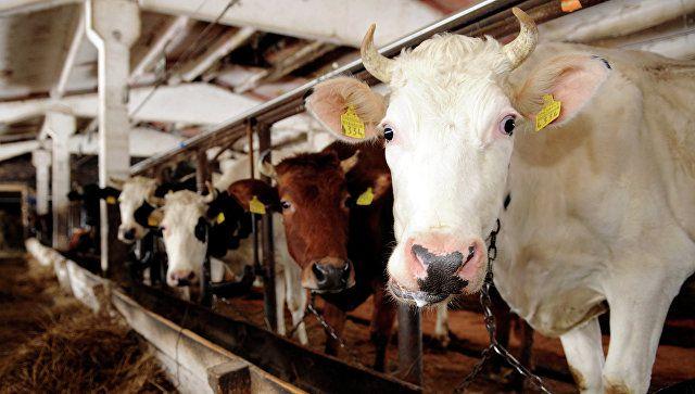 Больные коровы не должны находиться в одном загоне со здоровыми