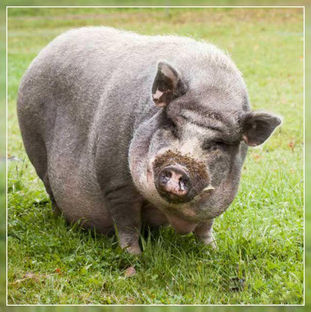 Здоровая корейская свинья