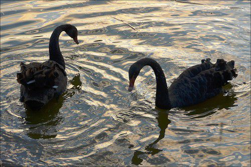 Брачный танец черных лебедей