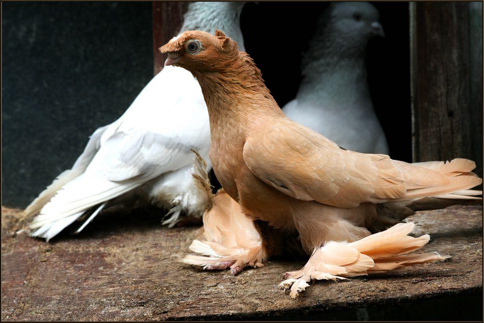 Важно выбиратьздоровых голубей