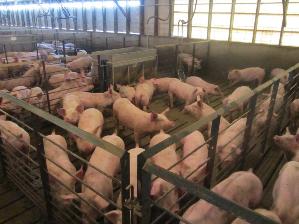 Важно создать хорошие условия для содержания свиней