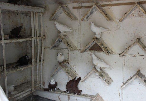Важно чаще проводить уборку в голубятне
