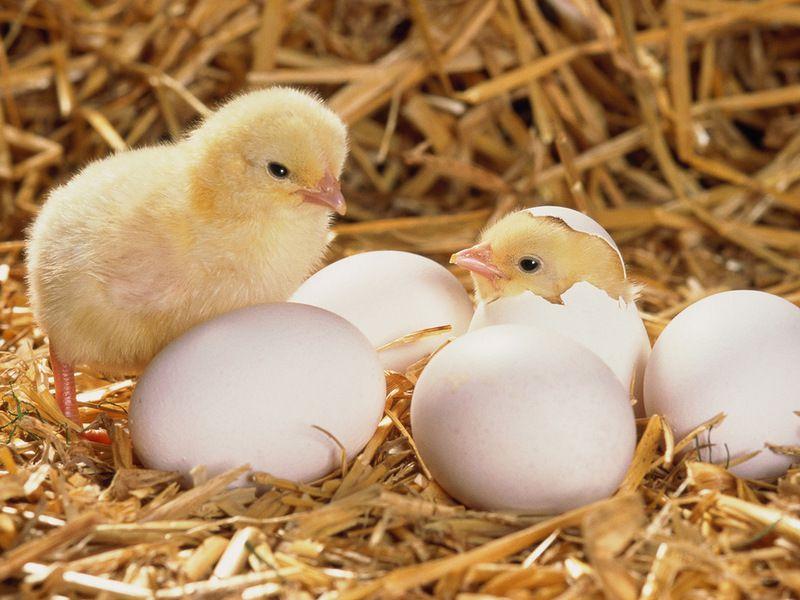 Вакцины и минеральные добавки играют большую роль в формировании здоровых кур