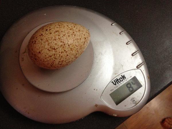 Вес среднего яйца индюшек Бронзовой Широкогрудой породы