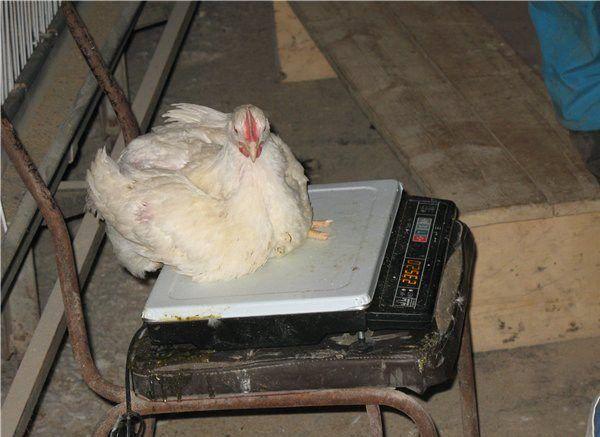 Взвешивание курицы на весах