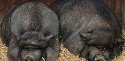 Вислобрюхие свиньи не требуют много места для размещения