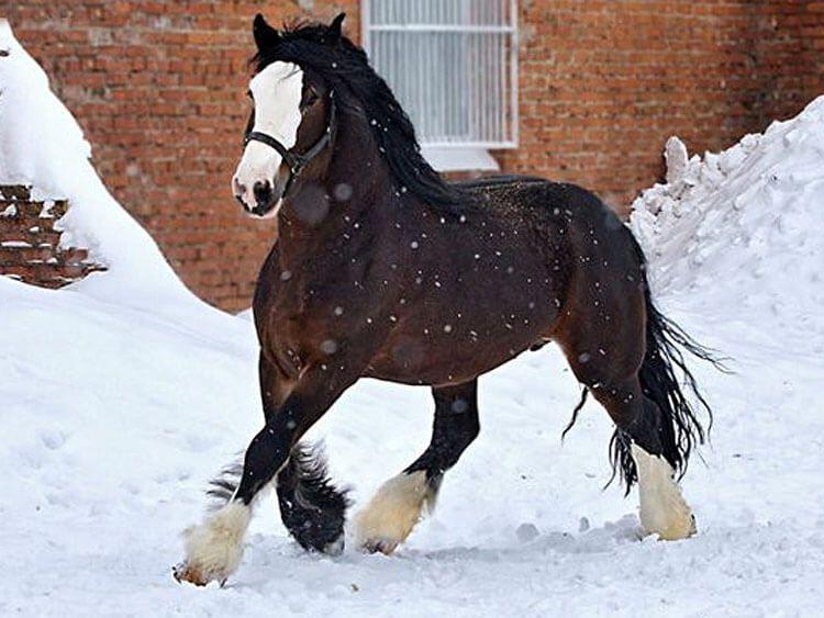 Владимирская тяжеловозная порода лошадей