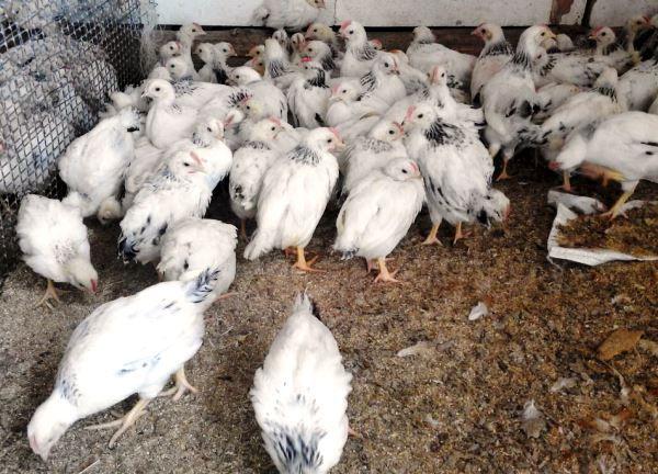 Внимательно отнеситесь к выбору адлерских серебристых кур при покупке