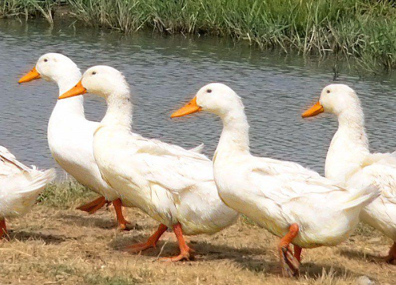 Водоем обеспечивает уткам возможность получить питательные вещества и очистить перья