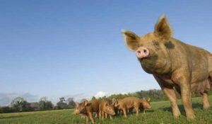 Выгул свиней на пастбище