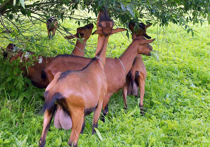Вымя у коз этой породы напоминает шелковистый мешочек