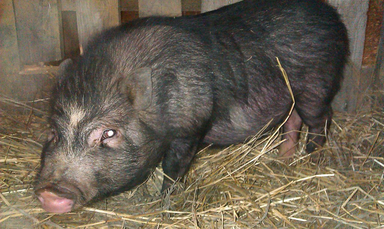 Вьетнамские свинки в зимнее время нуждаются в постоянном отоплении