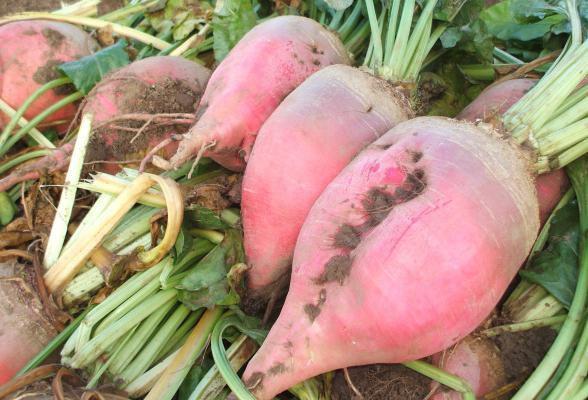 Вьетнамским свиньям не стоит давать кормовую свеклу