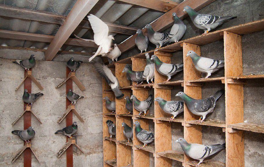 В голубятне должны быть насесты