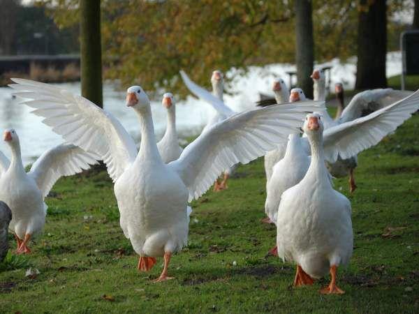 В летнее время гуси не требуют особого содержания и питаются самостоятельно